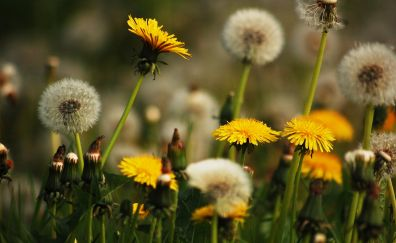 Dandelions, yellow flowers, meadow