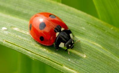 Macro, leaf, ladybug, insect, red