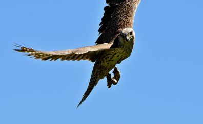 Falcon, raptor, predator, wing, fly, bird
