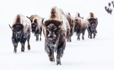 Bison, buffalo, herds, animal
