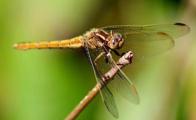 Dragonfly, insect, macro