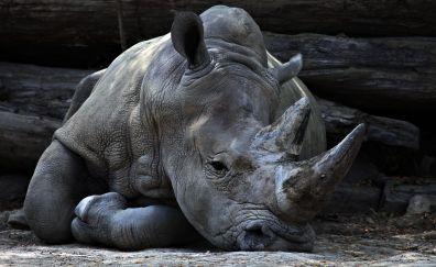 Rhinoceros, horn, lying