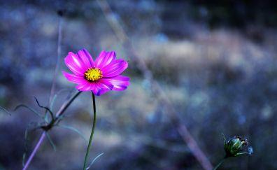 Cosmos, pink flower, portrait