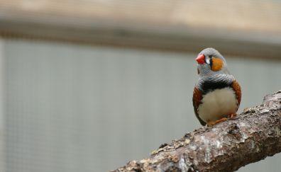 Red crossbill, red beak bird, cute bird