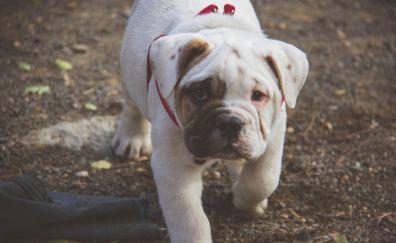 English bulldog, cute puppy, walk