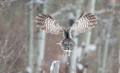 Wings, owl, fly, bird, winter