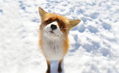 Amazed Red fox, muzzle, animal, predator