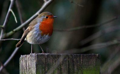 European robin, bird, small bird