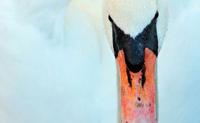 White swan, bird, beak, close up