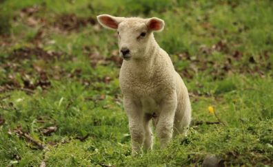 Lamb, baby sheep, animal, cute