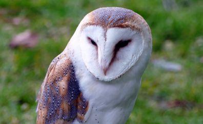 Bird, Barn owl, predator
