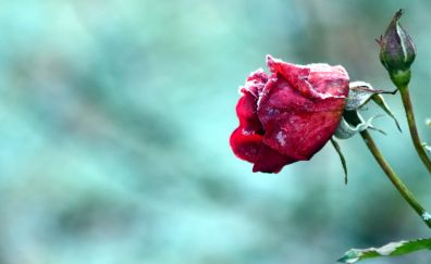 Red Rose, flower bud, snow frost
