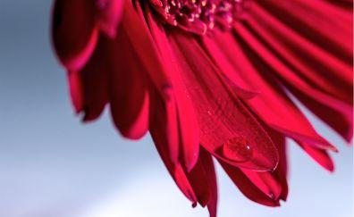 Gerbera flower, marcro, drops, petasl
