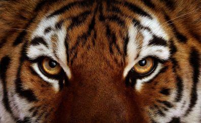 Tiger's eyes, close up