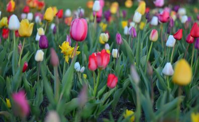 Tulips flowers, farm, spring