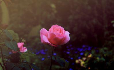 Summer blossom, rose flower