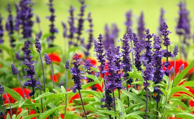 Lavander farm field, purple flowers, plants