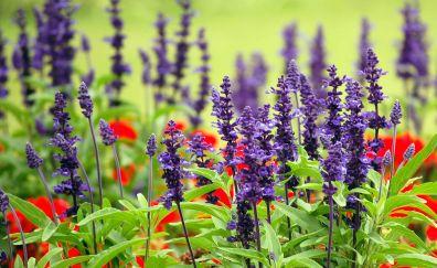 Lavander farm field, purple flowers, plants