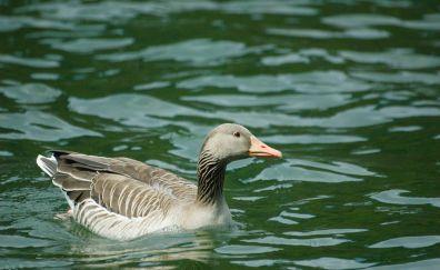 Goose, bird, water bird, swim, lake