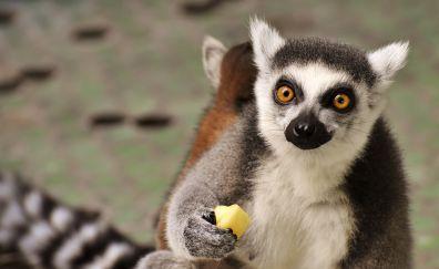 Monkey, Lemur, cute animal, eating