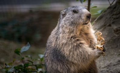 Marmot rodent furry animals