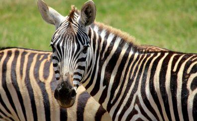 Zebra, wild animal, herds