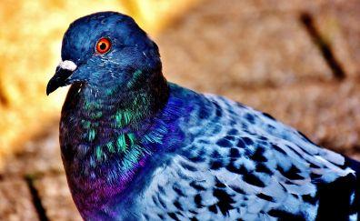 Dove bird, close up, colorful