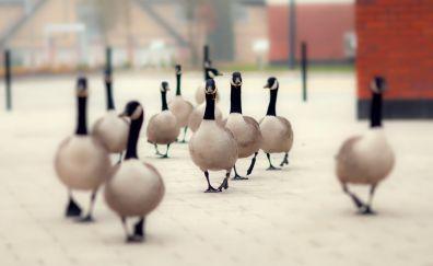 Duck birds on street