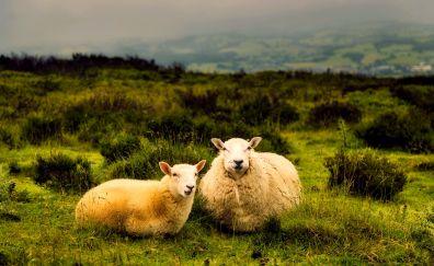 Sheep pair, sit, animal, landscape
