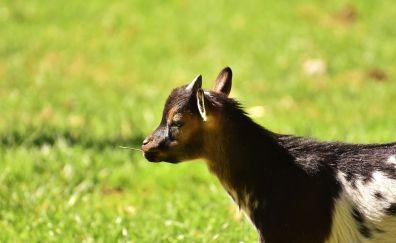 Young goat, landscape, grass