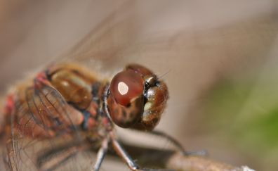 Dragonfly, close up