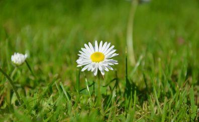 Lone daisy, flower, grass, meadow