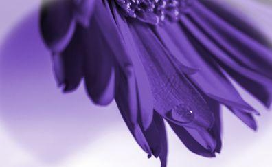 Purple gerbera flower, close up, drops