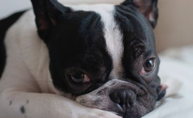 French bulldog muzzle, curious