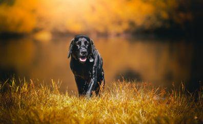 Labrador, black dog, pet, walk, grass