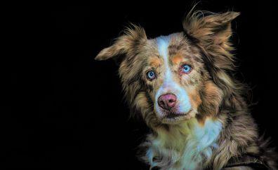 Australian Shepherd, dog, pet animal