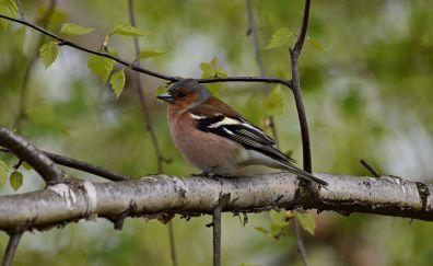 Chaffinch, bird, sitting, tree branch