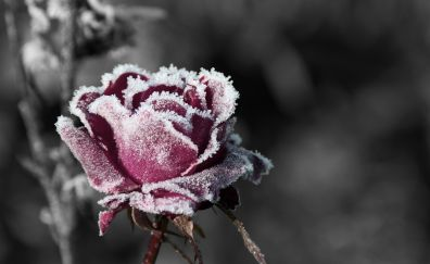 Snow frost on rose flower