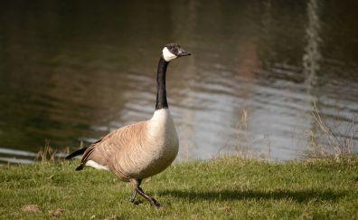 Goose, walk water, bird, lake
