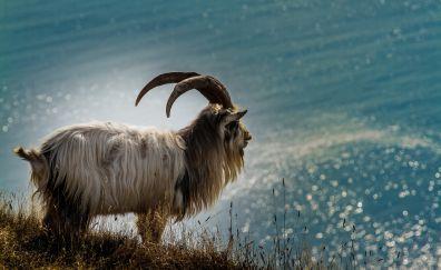 Furry goat, animal, horns, landscape