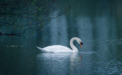 Swan, beautiful, love bird, swim, lake