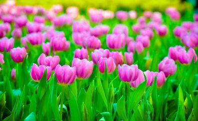 Pink tulips, farm, plants, spring