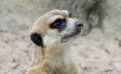 Meerkat, animals, look away