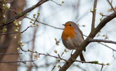 European Robin bird, sitting, tree branch