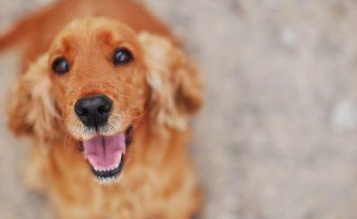 Spaniel, cute, brown dog