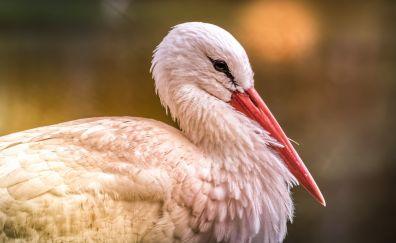 White stork, bird, red beak