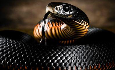 Wild black snake