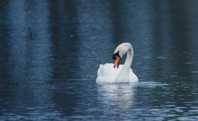 Swan, calm, lake, white bird, swim