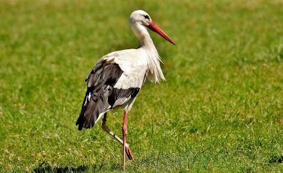 Stork, white bird, standing on one leg