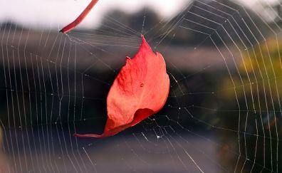 Spider web, leaf, close up